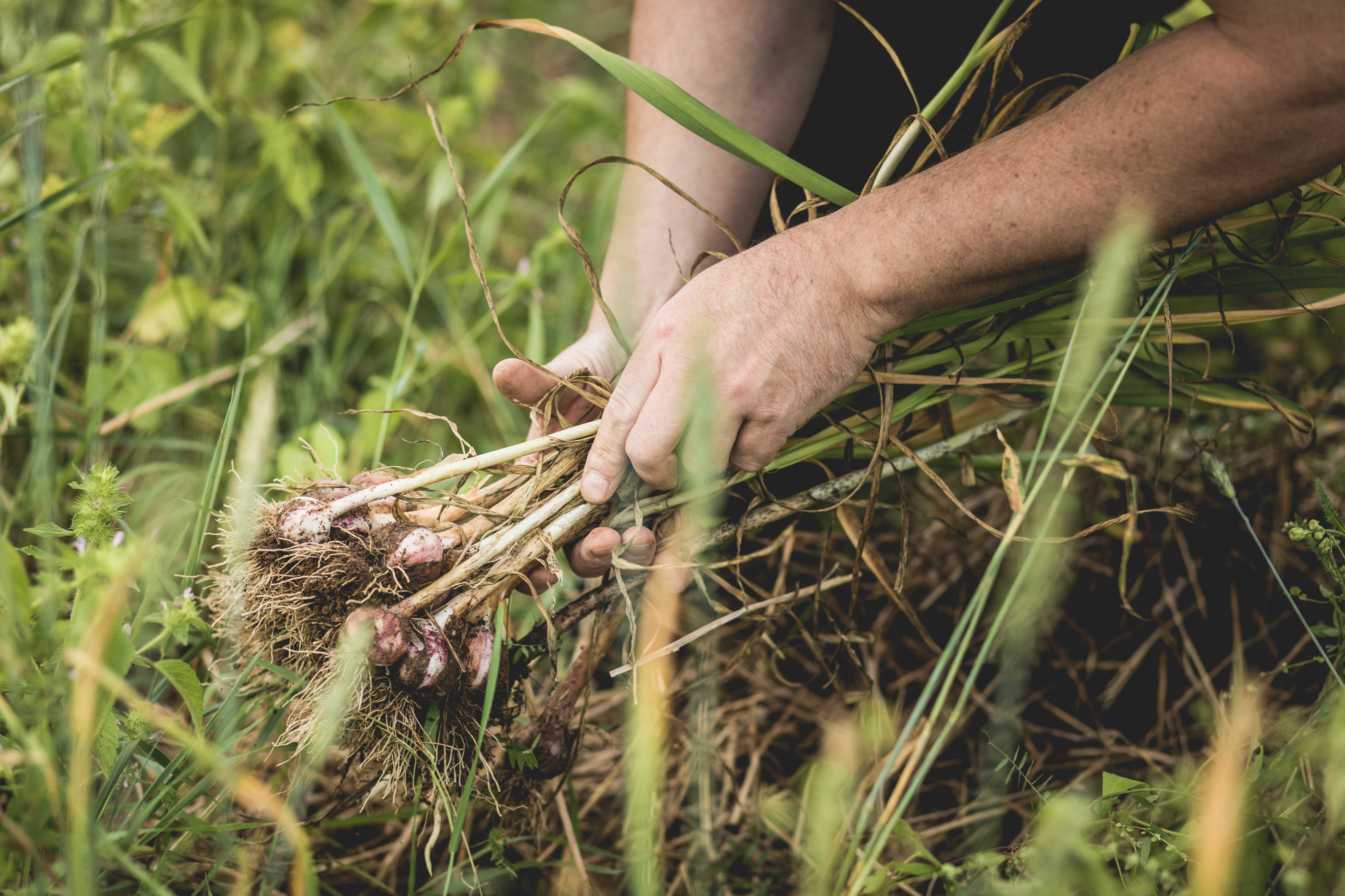 Handful of freshly picked garlic in the field P2 F6 NR5 wr