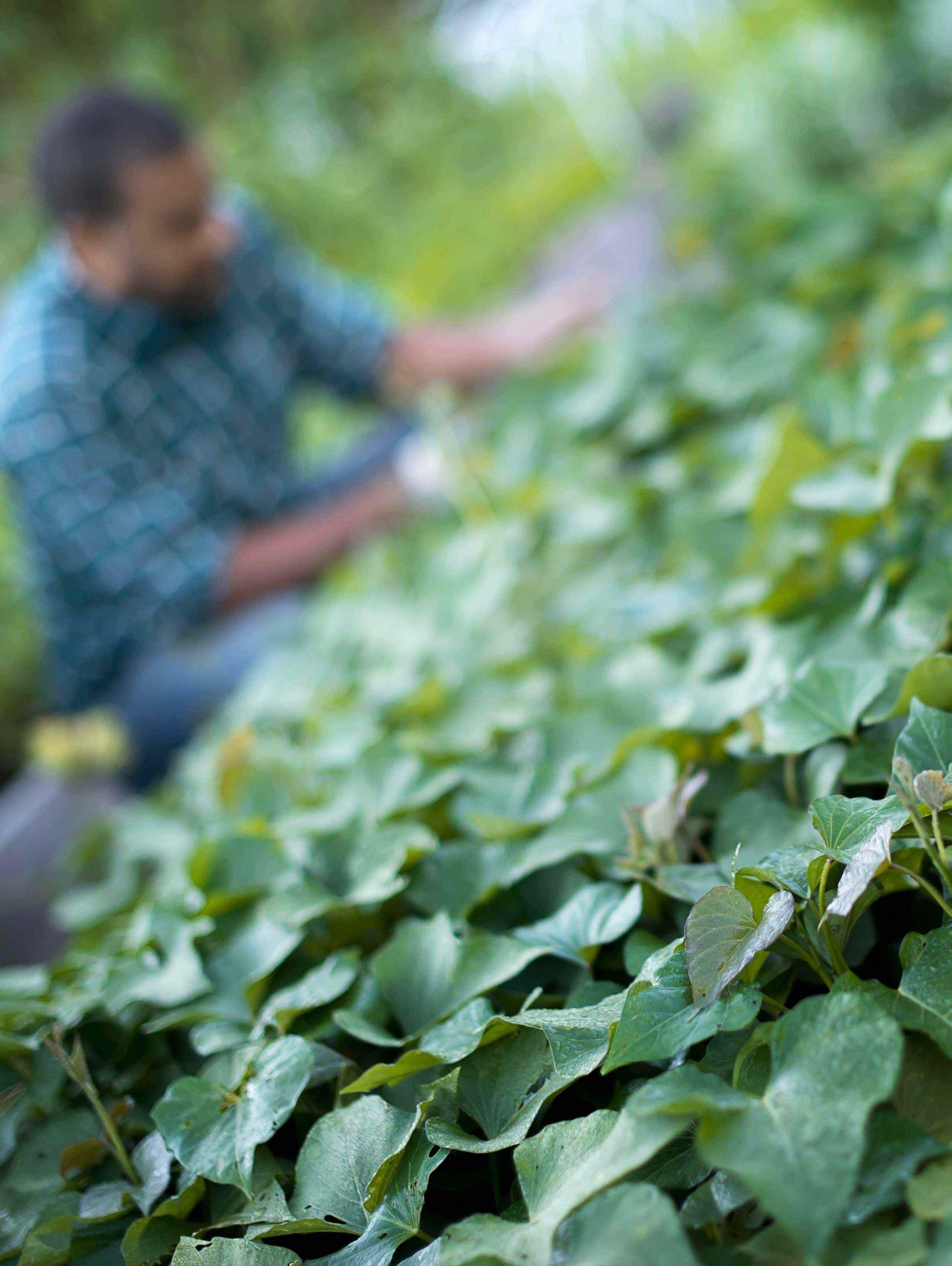 A farmer tending to cucumber plants in an organic ZABLMHB wr